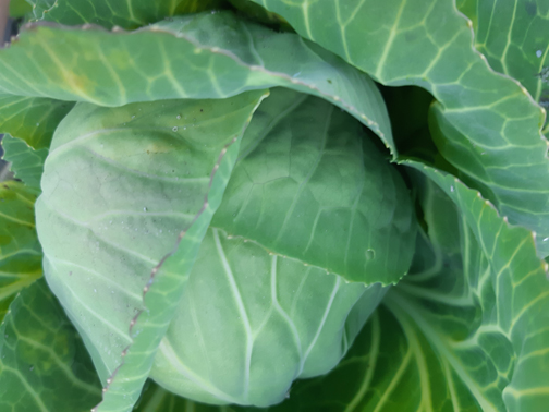 Early Green Cabbage 2020